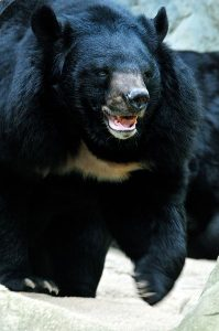 Asian Black Bear Size