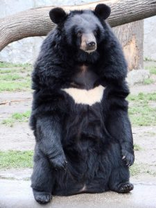 Asiatic Black Bear Standing