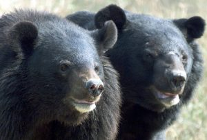Asiatic Black Bears
