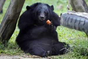 Moon Bear Images