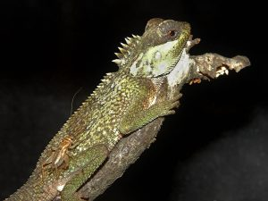 Mountain Horned Dragon Pictures