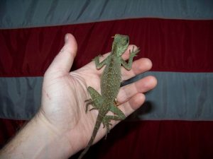 Mountain Horned Lizard Full Grown
