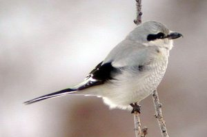Northern Shrike Bird