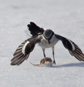 Northern Shrike Hunting