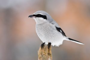 Northern Shrike Pictures