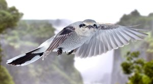 Great Grey Shrike in Flight