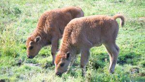 Wood Bison Babies