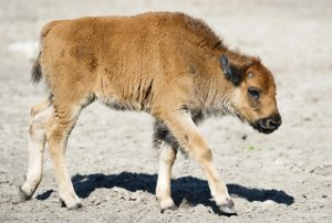 Wood Bison Baby