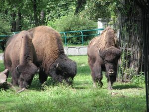 Wood Bison Size