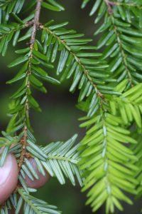 Canadian Hemlock Needles
