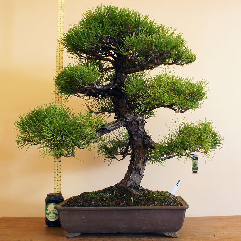 Japanese Black Pine | Coniferous Forest
