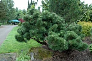 Japanese Black Pines