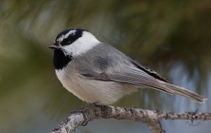 Mountain Chickadee Bird