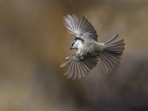 Mountain Chickadee Flying