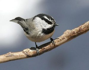 Mountain Chickadee Images