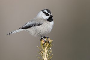 Mountain Chickadee Photos