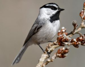 Mountain Chickadee Pictures