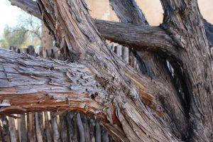 Rocky Mountain Juniper Bark