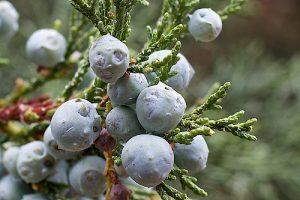 Rocky Mountain Juniper Bark Berry