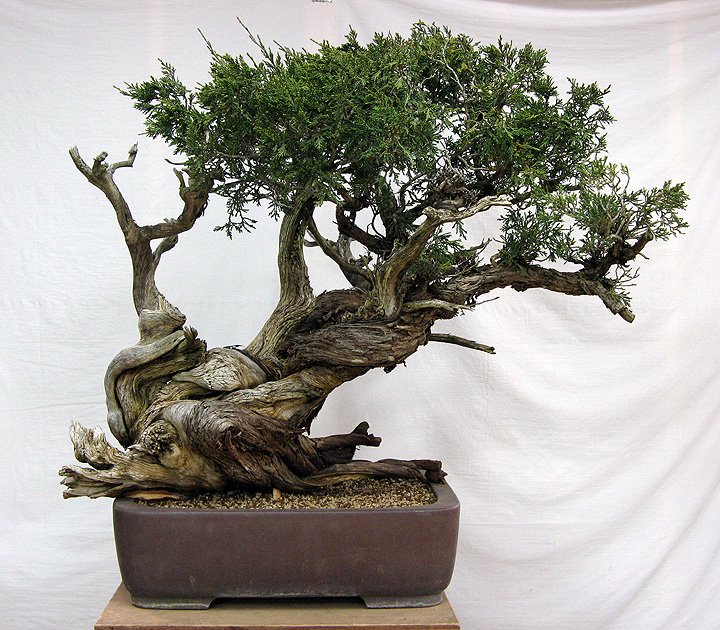 Rocky Mountain Juniper | Coniferous Forest