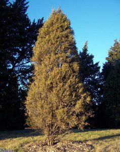 Rocky Mountain Juniper Images