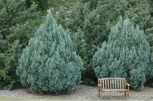 Rocky Mountain Juniper Pictures