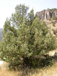 Rocky Mountain Juniper Tree