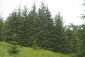 Sitka Spruce Images