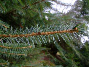 Sitka Spruce Leaf