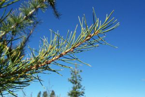 Western Larch Needle