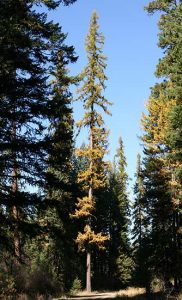 Western Larch Pictures
