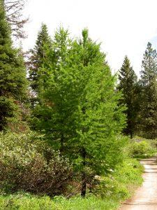 Western Larch Tree
