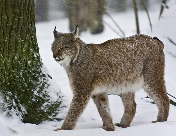 Arctic Cat Lynx