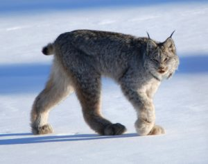 Canada Lynx Pictures