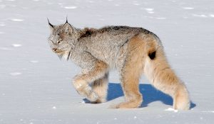 Canadian Lynx Cat