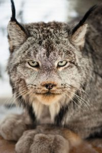 Canadian Lynx Face