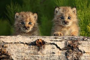 Canadian Lynx Kittens