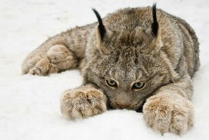 Canadian Lynx Paws