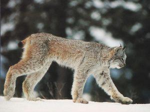 Canadian Lynx Size