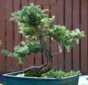 Korean Fir Bonsai