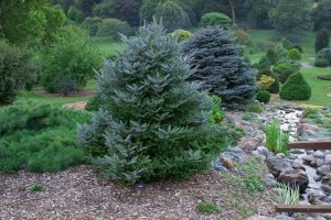Korean Fir Tree