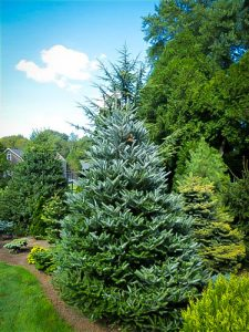 Korean Fir Tree Pictures