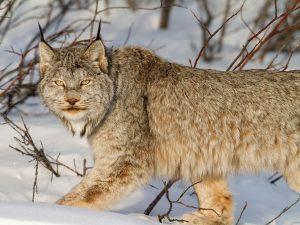 Lynx Canada