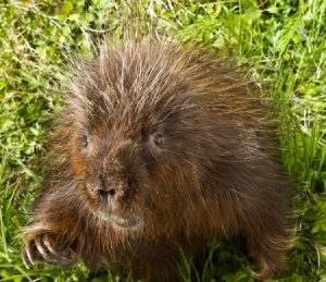 North American Porcupine Face