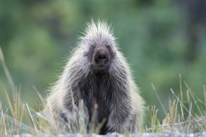 North American Porcupine Pictures