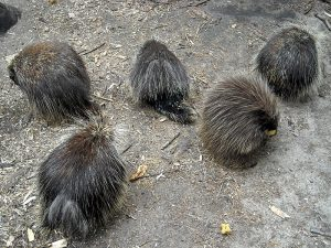 North American Porcupines