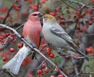 Pine Grosbeak Male and Female