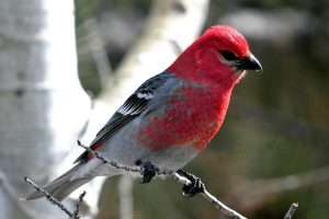 Pine Grosbeak Pictures