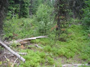 Spruce Grouse Habitat
