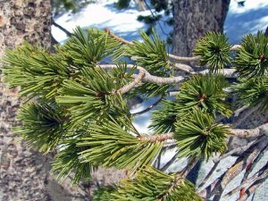 Whitebark Pine Needles